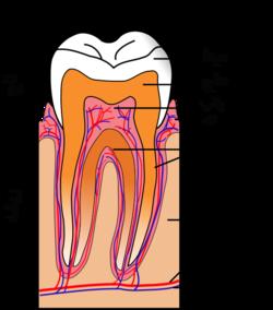 ساختمان دندان و بخش های مختلف دندان